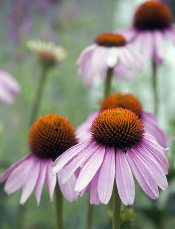 Purple Coneflower Up-Close photo