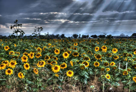 Sunflower Field at Sunset with End of Day Sun Rays photo