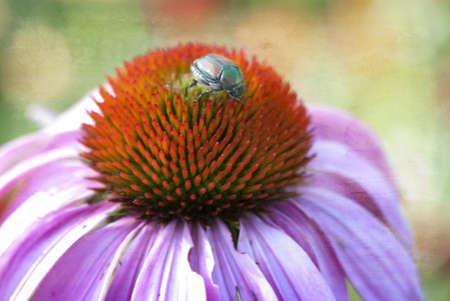 Beetle on top of purple cone flower head