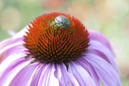 Beetle on top of flower Imagens
