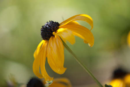 upclose: Black-Eyed Susan Flower Up-Close with Water Drop at end of a petal