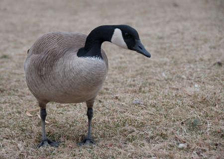 Canadian Goose Walking on Grass photo