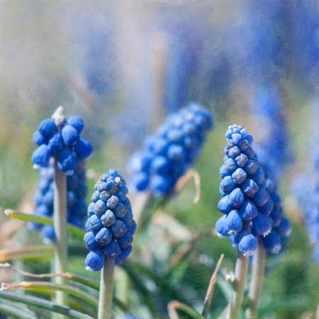 hyacinths: Spring Blue Muscari, Hyacinths Flowers