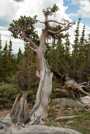 mount evans: Rocky Mountain Bristlecone Pine at Mount Evans in Colorado Stock Photo