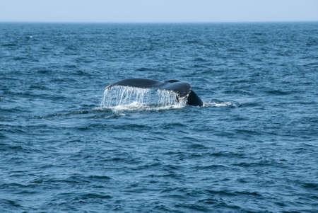 caudal fin: Fin of a Humpback Whale