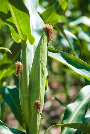 Campo de maíz en el tallo con borlas y hojas Foto de archivo - 31113215