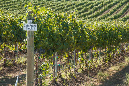 Rows of wine grapes Stock Photo
