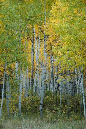 quaking aspen: Aspen Grove in Autumn Stock Photo