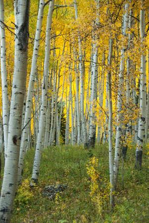 quaking aspen: Autumn in Aspen Grove
