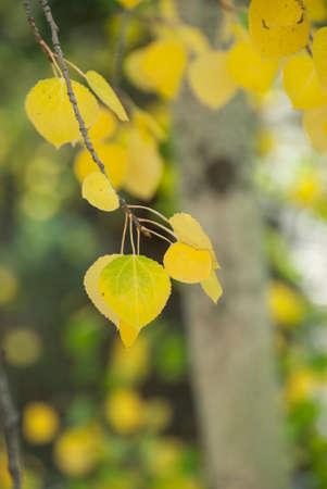 tremante: foglie di pioppo