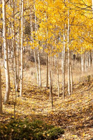 aspen trees in the fall 版權商用圖片