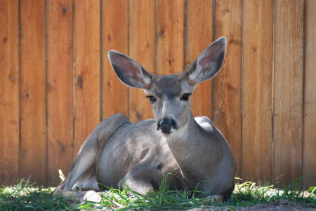 Close up of a female deer laying on grass