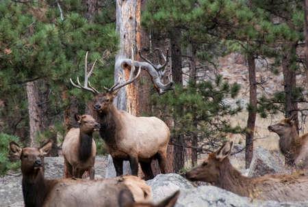 rutting: Elk during rutting season Stock Photo