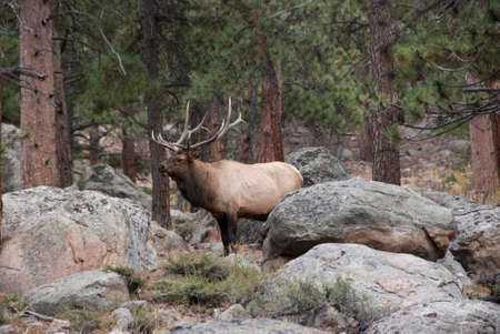 Bull Elk standing in forested area of Rocky Mountain National Park in Colorado during rutting season