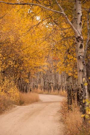 quaking aspen: Autumn Drive Through The Aspens at Rocky Mountain National Park in Colorado