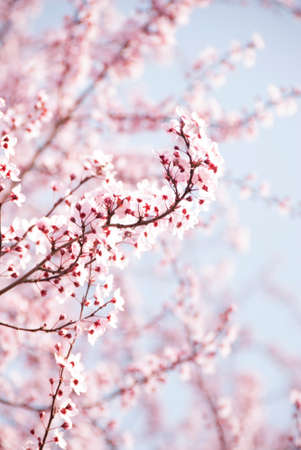 Pink flowering tree in spring with soft pink and blue background Standard-Bild