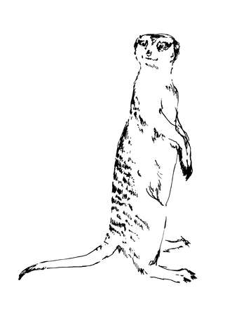 Hand drawn meerkat. Black vector illustration on white background. Sketch style.