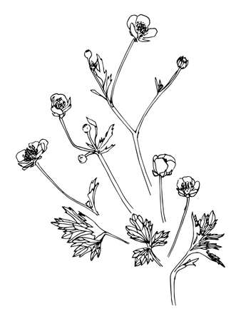 Set of hand drawn flower and leaves of paigle. Sketch style. Vector illustration. Black hand drawn image.