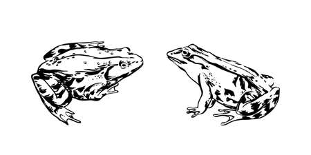 Hand drawn frogs. Vector sketch black isolated animal illustration on white background.