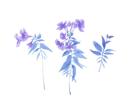 Set of hand drawn watercolor painting phlox flowers. Vector floral botanical illustration isolated on white background. Rustic provence vintage style. Illustration