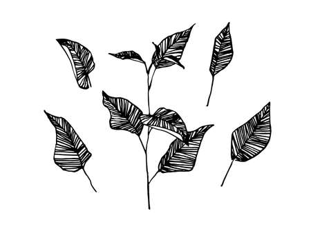 Hand drawn branch leaves. Sketch style vector illustration. Black isolated imprint on white background. 向量圖像