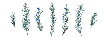 Rosemary herb set, watercolor painting botanical illustration. Hand drawn spice plant isolated on white background. Aquarelle art design elements.