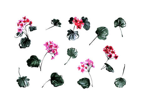 Geranium flowers and leaves set, botanical vintage collection painting by watercolor. Hand drawn floral blossom plants isolated on white background. Aquarelle art design elements. 版權商用圖片