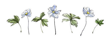 Set of hand drawn anemone flowers with leaves. Sketch botanical illustration painting by watercolor, isolated on white background. Decorative aquarelle art design elements.  Stock Photo