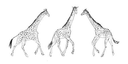 Hand drawn set of giraffe animal, drawing by ink outline sketch. Vector graphic illustration, black isolated on white background. Illustration