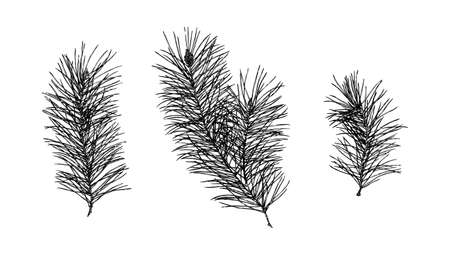 Hand drawn pine prickly branch collection painting by ink. Sketch botanical spruce vector illustration. Black isolated outline plants on white background. Illustration