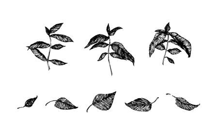 Hand drawn branch leaves. Sketch style foliage vector illustration. Black isolated imprint on white background. 向量圖像