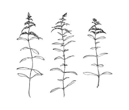 Hand drawn goldenrod wild plants with flowers collection. Outline herbs sketch ink painted. Black isolated botanical vector illustration on white background.