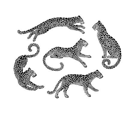 Set of cheetah spotted silhouettes in different poses. Vector wildcat animal graphic illustration. Black isolated on white background.