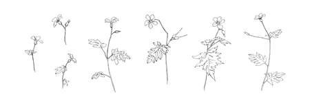 Set of hand drawn wild flowers. Outline buttercup floral collection painted by ink. Black isolated sketch vector on white background.