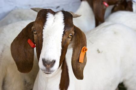 boer: Cabras Boer
