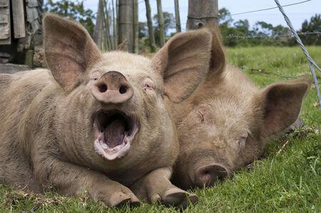 Lazy porcs