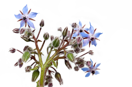 Borage Flowers photo