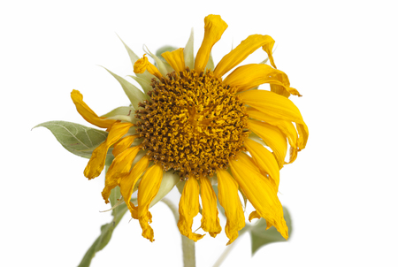 wilted: Wilted Sunflower