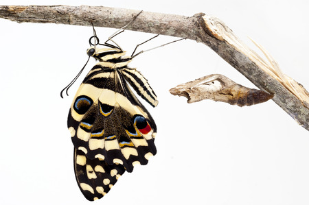 hatched: Hatched Butterfly
