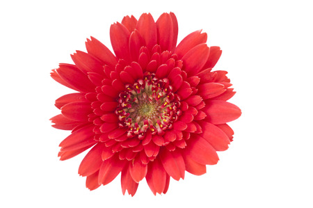 gebera: Red Gebera Daisy