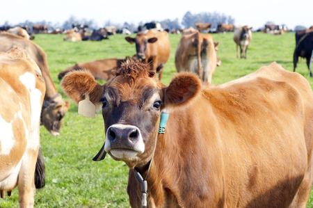 jersey cattle: Curious Cow Stock Photo