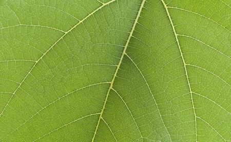 fig leaf: Fig Leaf