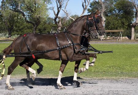 saddler: American Saddler Horses  Stock Photo