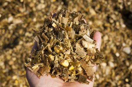 mazorca de maiz: Ensilaje Foto de archivo