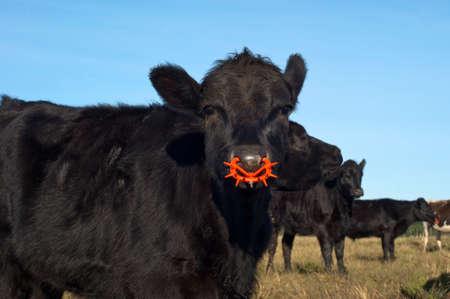 red heifer: SONY DSC