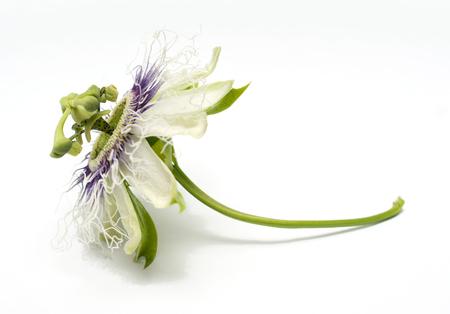 Passion fruit flower Banque d'images