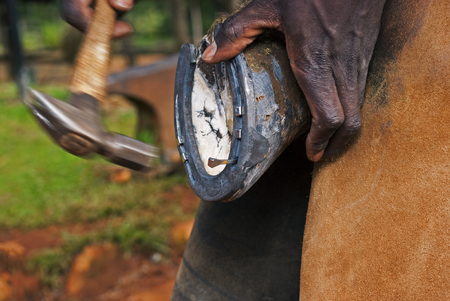Farrier nailing on a horse shoe