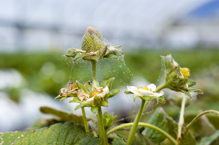 Spider mite infestation on a strawberry crop