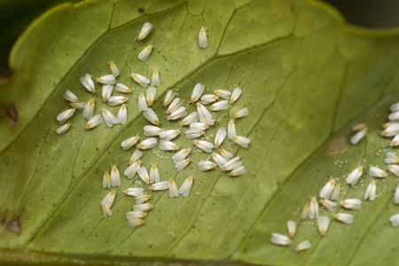 White fly infestation on the underside of a citrus leaf