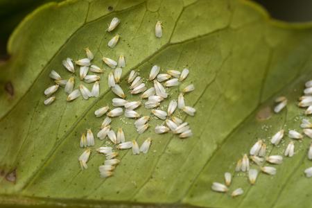 White fly infestation on the underside of a citrus leaf